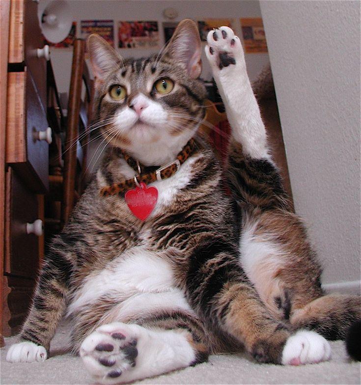 Amazing Cat: 24 Best Images About Fat Cats On Pinterest