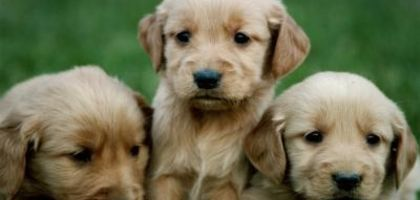 How to Get Rid of Fleas on Puppies Under 12 Weeks