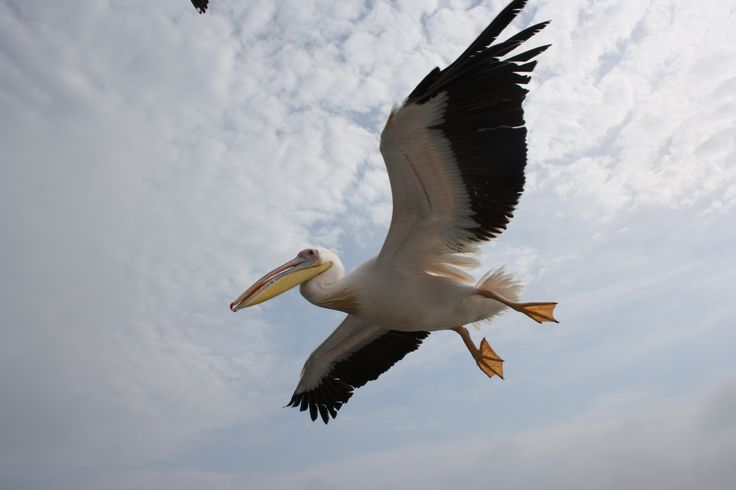 Pelican soaring the sky of Walvis bay, Namibia!