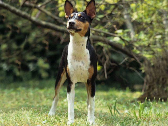 Basenji | Photo chien Basenji - 681 - Wamiz