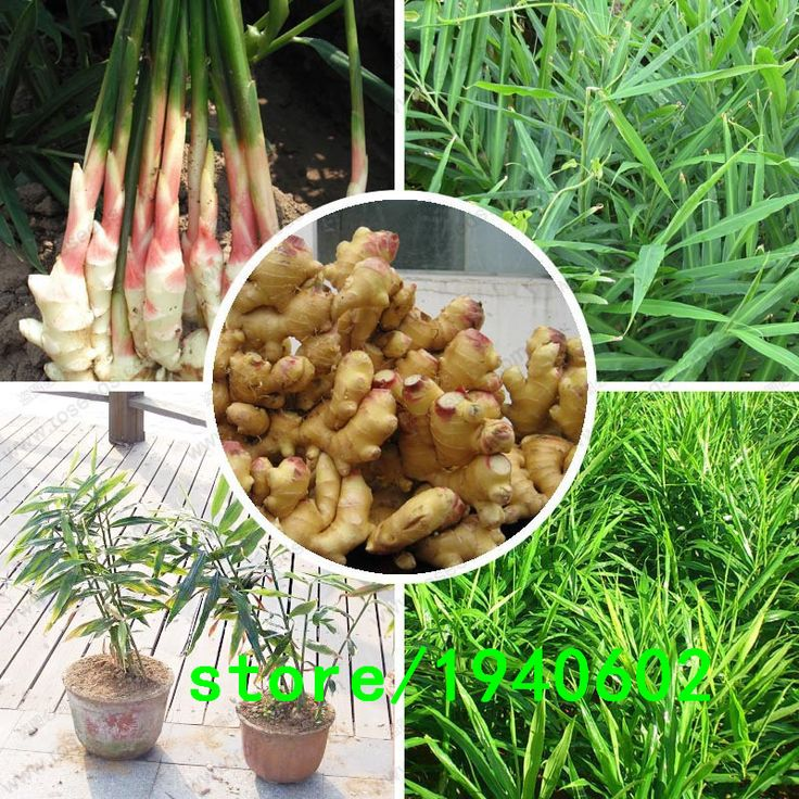 Ginger Seeds Balcony Vegetables Potted Bonsai Plant