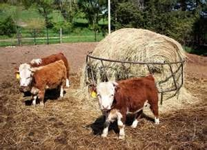 Mini Cows - might have space for them!