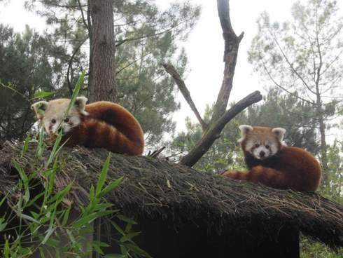 Naissance de pandas roux au Zoo de la Flèche
