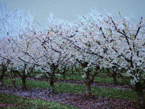 Springtime In The Cherry Orchard Art Print by Leslie Montgomery.  All prints are professionally printed, packaged, and shipped within 3 - 4 business days. Choose from multiple sizes and hundreds of frame and mat options.