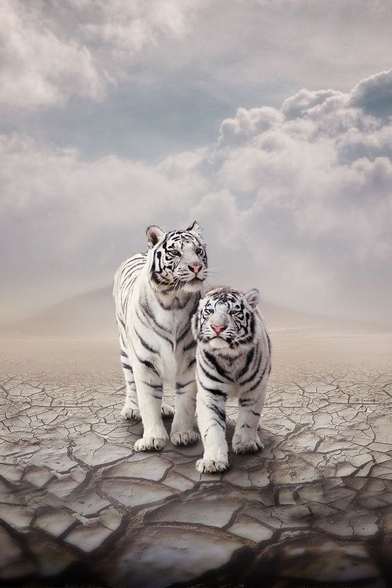 White tigers | Beautiful | Pinterest