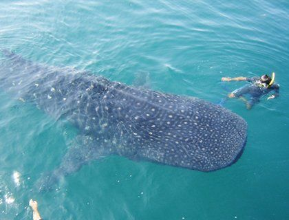 """Explore the beautiful Caribbean Sea for a once in a lifetime chance to get up close and personal with the exotic, enormous whale shark. Despite being the largest """"fish"""" in the world, this gentle giant is completely harmless, inviting you to swim alongside to pet its massive body."""