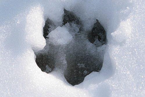Le loup gris, Canis lupus