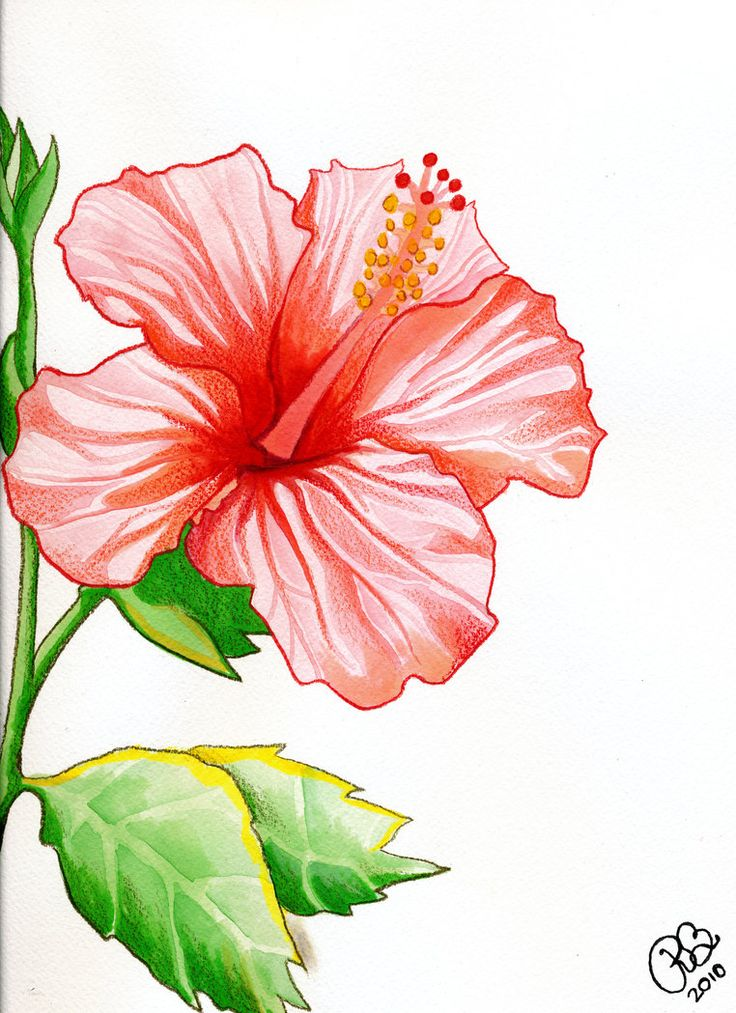 9 Best Images About Hibiscus Flower Water Color On