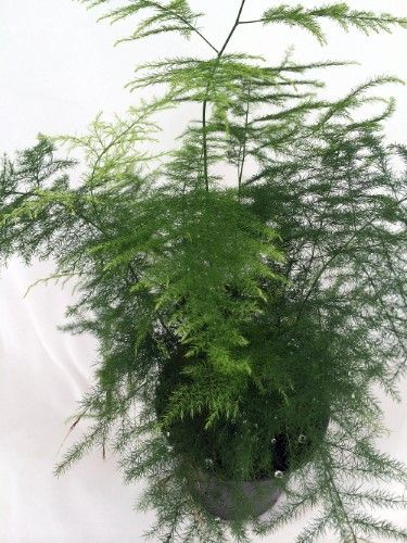 "known as Common Asparagus Fern, Lace Fern, Climbing Asparagus, or Ferny Asparagus Leaf Plumosus Asparagus Fern - 4"" Pot - Easy to Grow - Great Houseplant"