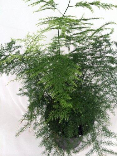 "known as Common Asparagus Fern, Lace Fern, Climbing Asparagus, or Ferny Asparagus Leaf Plumosus Asparagus Fern - 4"" Pot - Easy to Grow - Great Houseplant"