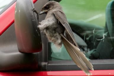Bird Pecking at the Window? Make It Stop!: Aggressive birds may attack their reflections in car mirrors.