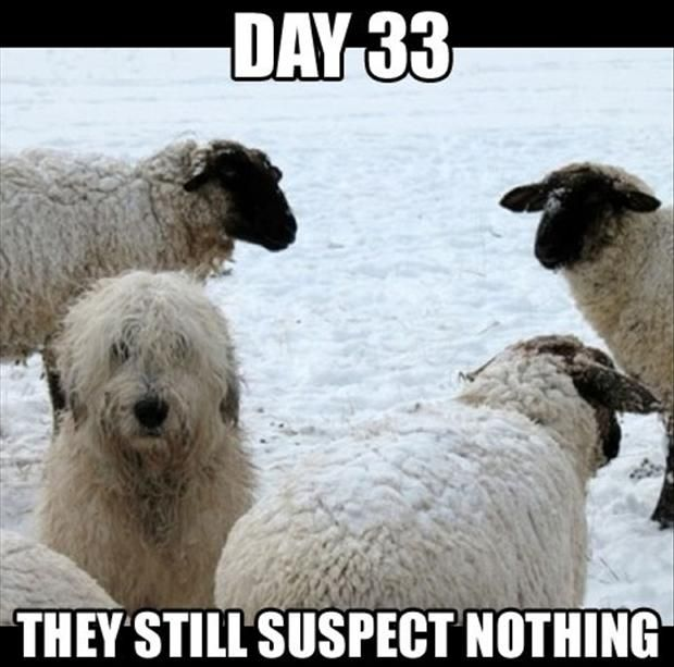 """LOL! (Reminds me of the old Looney Tunes cartoon with Wiley E. Coyote and """"Ralph"""" the Sheep Dog. :-)"""