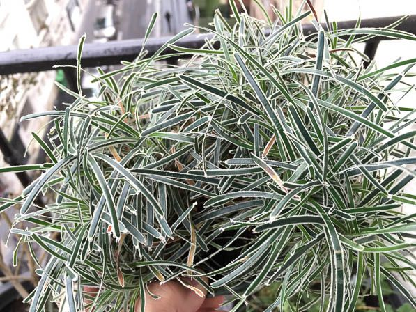 Ficinia truncata Ice Crystal  garten  Plants Planting
