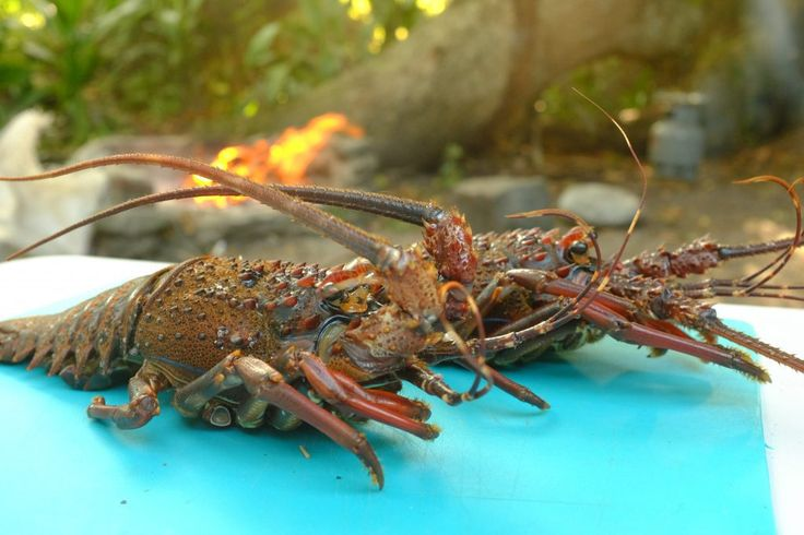 How to cook crayfish on the braai - http://www.maggieinafrica.com/2016/06/cook-crayfish-braai/ - After spending months on an overland journey, cooking food on the braai (the Afrikaans word for barbeque or cooking on the fire) can become repetitive. With ingredients limited to meat, meat and more meat, it was long overdue for Lulu and I to try cooking something a bit more exciting. While… The post How to cook crayfish on the braai appeared first on Maggie in Africa.
