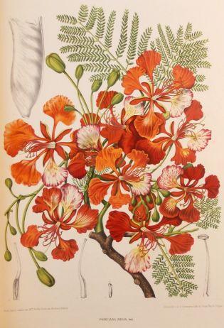 """Madame Berthe Hoola Nuts """"Fleurs et Fruits Feuillages Choisis La Flore et de la Pomone de l'Île de Java '' Poinciana regia [= Delonix regia]."""