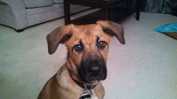 "German Shepherd Boxer Mix ""Hank the Tank"""