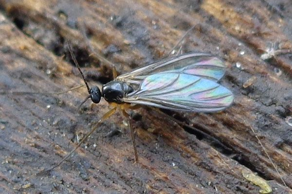 If You Re Not Familiar With Fungus Gnats They Re Small Black