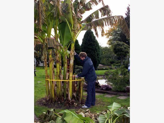 Bananenstaude Wintschutz Triebe abschneiden
