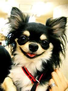 Chihuahuas: Puppies Pictures, Happy Baby, Dogs Breeds, Happy Happy Happy, Chihuahua Dogs, Baby Dogs, Happy Dogs, Long Hair Chihuahua, Dogs Portraits