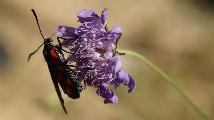 Scabiosa atropurpurea - Uyuz Otu, @Rumeli Kavağı #rumelikavağı