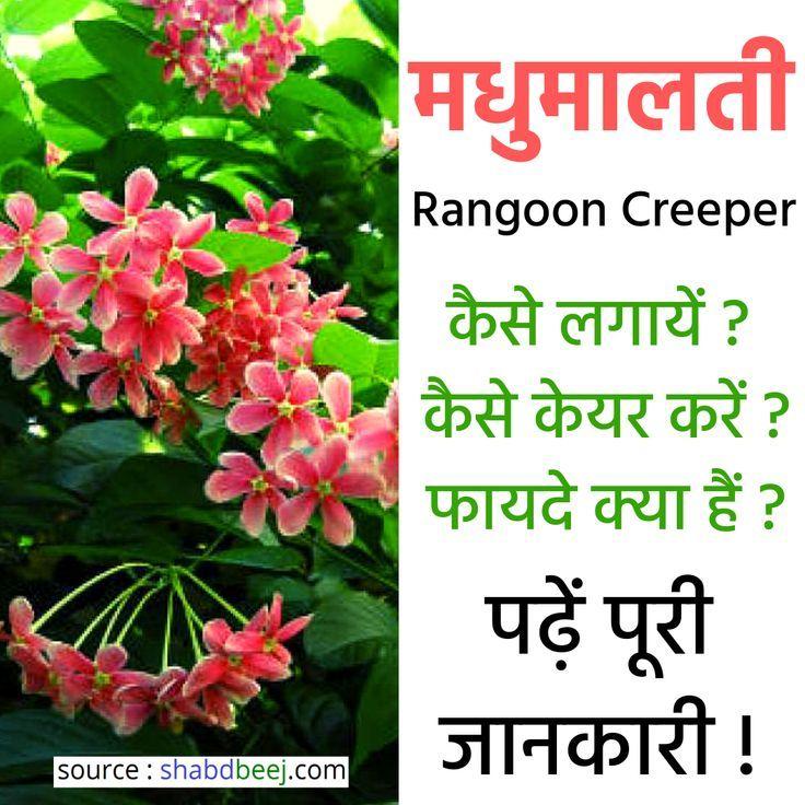 Madhumalti Plant Benefits In Hindi Madhumalti Plant Benefits In Hindi Madhumalti Plant In Hindi Rangoon Creeper In Hindi Plant Benefits Plants Creepers