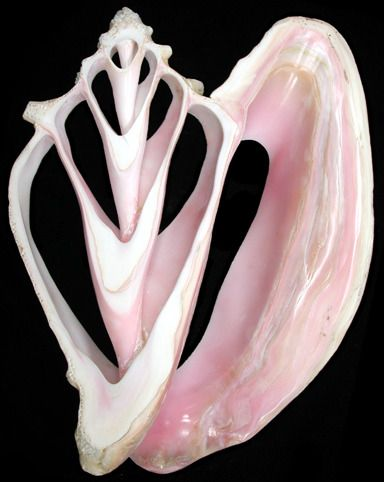Cut Conch Shell Center