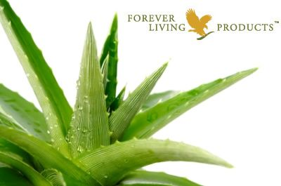 Aloe Vera Plant flourishes in warm, dry climates, and is a member of the lily family. It stays moist when other plants would wilt and die by closing its pores to prevent the loss of moisture.  There are 200 varieties of aloe but Forever use Aloe Barbadensis Miller due to its beneficial properties.