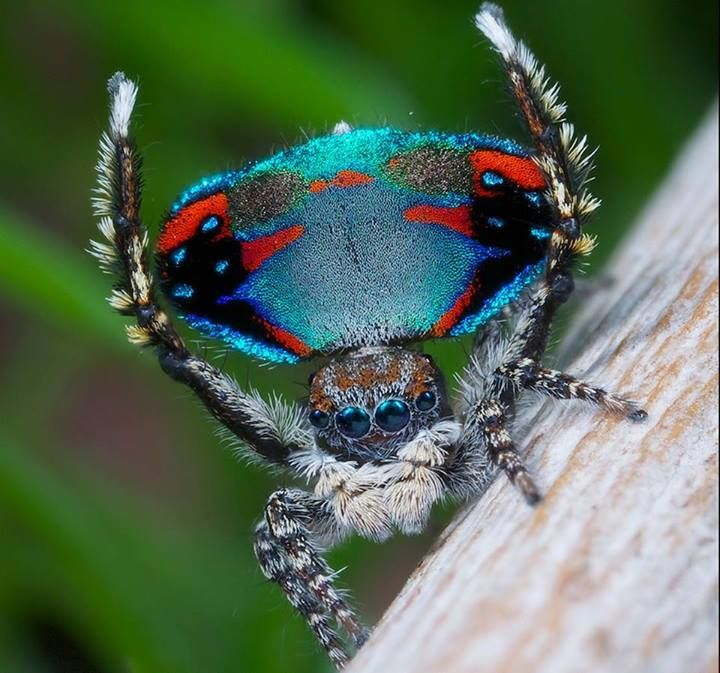 A new species of peacock spider has been discovered! Maratus avibus was discovered in Western Australia and is approximately 4.5 mm in length. Image credit: Jurgen Otto