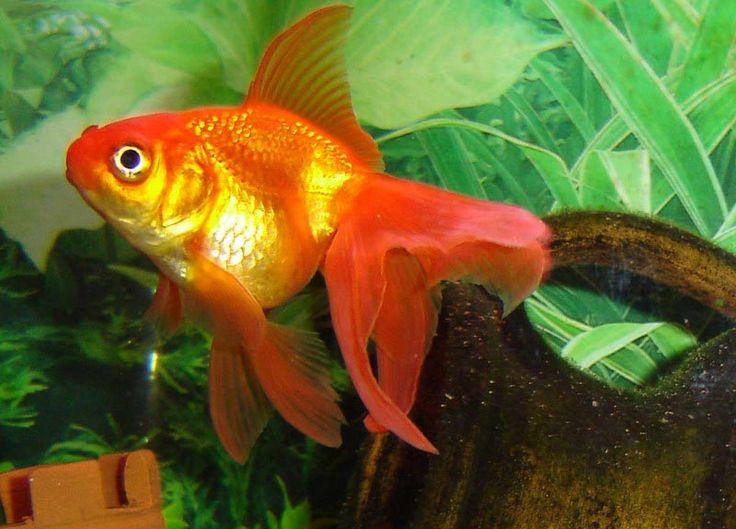 Pesci rossi tropicali acqua dolce cerca con google i for Pesce rosso butterfly