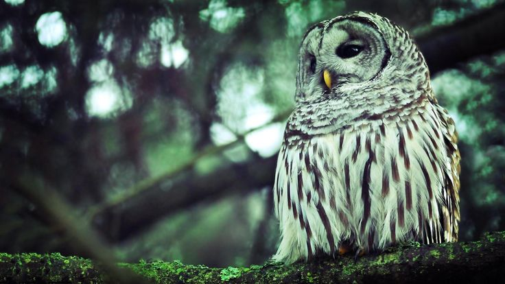 owl: Forests Animal,  Strix Nebulosa, Beautiful Birds, Owl Wallpapers, Beautiful Pictures, Branches,  Great Gray Owl, Great Grey Owl, Vintage Chanel