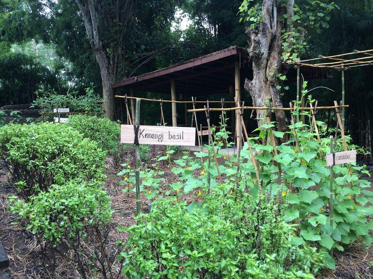 Basil in Organic Garden at Alila Ubud