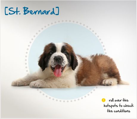 Did you know that the St. Bernard became a breed prized for their ability to locate lost or injured people in the bitter cold and snow of the Alps? Read more about this breed by visiting Petplan pet insurance's Condition Checker!: Visit Petplan, Pet Insurance, Petplan Pet, Pawesom Pet
