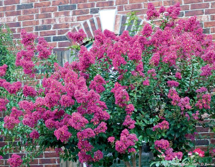 25 beste idee n over lilas des indes op pinterest for Cactus exterieur resistant au froid