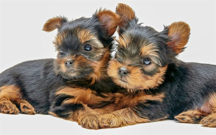 Yorkshire Terrier, puppies, two dogs, cute animals, 4k