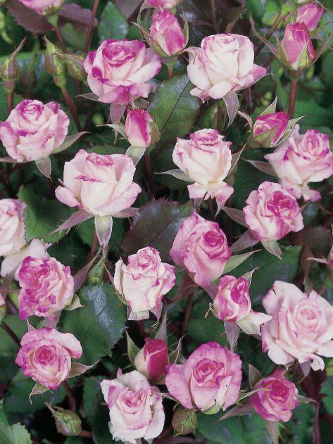 Abigaile®. Floribunda roos. Een lage roos met mooi gevormde, kleine, slanke knoppen met karmijnrode aftekening naar onderen overgaand in crèmewit en lichtroze. Samen een aangenaam contrast vormend met de kleine, glanzende bladeren. Een gezonde soort voor o.a. terras, perk en bloembakken.