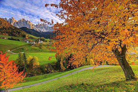 Red cherry trees in autumn color the country road around St. Magdalena village, in the background the Odle Mountains, South Tyrol, Italy, Europe