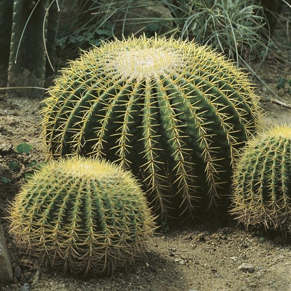Echinocactus grusonii/ Barrel cactus Season: Bloom in April to September Uses: Potted plant, landscapes Fun Facts: -Native to Mexico -Endangered in the wild -Flower