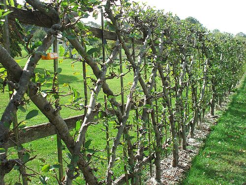 """Espalier is a horticultural technique of pruning and grafting used together to train trees to create two-dimensional forms with the branches.  This technique was originally developed during the Middle Ages as a way to grow fruit trees within castle walls, without taking up space needed for other activities, and to add decoration to the walls."""