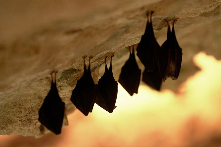 Bats hang from the roof of a cave in Mikulov, Czech Republic, on March 9, 2015. Up to 600 bats spend the winter here in the caves.