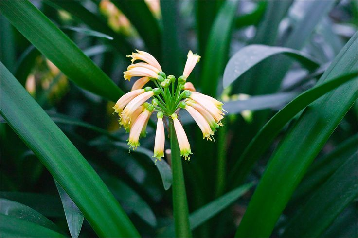 Clivia gardenii, Pink 10.  Colorado Clivia plant number 633.