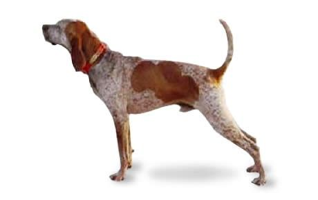 American English Coonhound information including pictures, training, behavior, and care of American English Coonhounds and dog breed mixes.