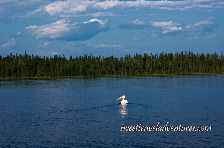 Pelican on the Hanging Heart Lakes in Prince Albert National Park, Saskatchewan, Canada