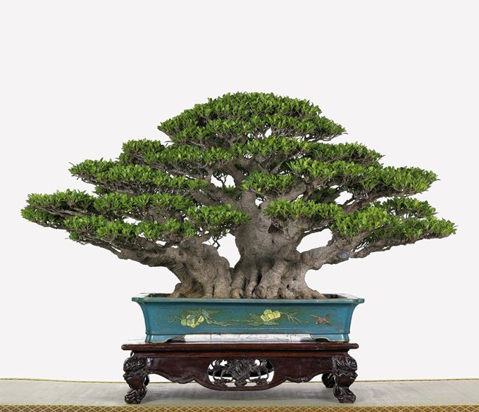 Bonsai… Ficus microcarpa bonsai in a beautiful dish