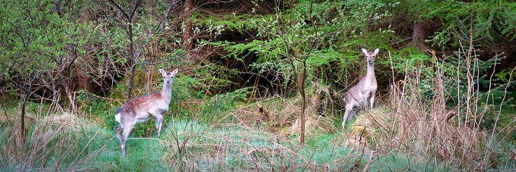 Ballypatrick Forest Deer