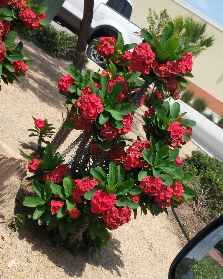 Crown of Thorns plant, bright red and absolutely beautiful! I snapped this picture from the car in So Texas. I want one of these.