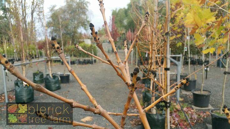 Fraxinus excelsior aurea – Golden Ash – Purchase Bare Rooted Trees Online