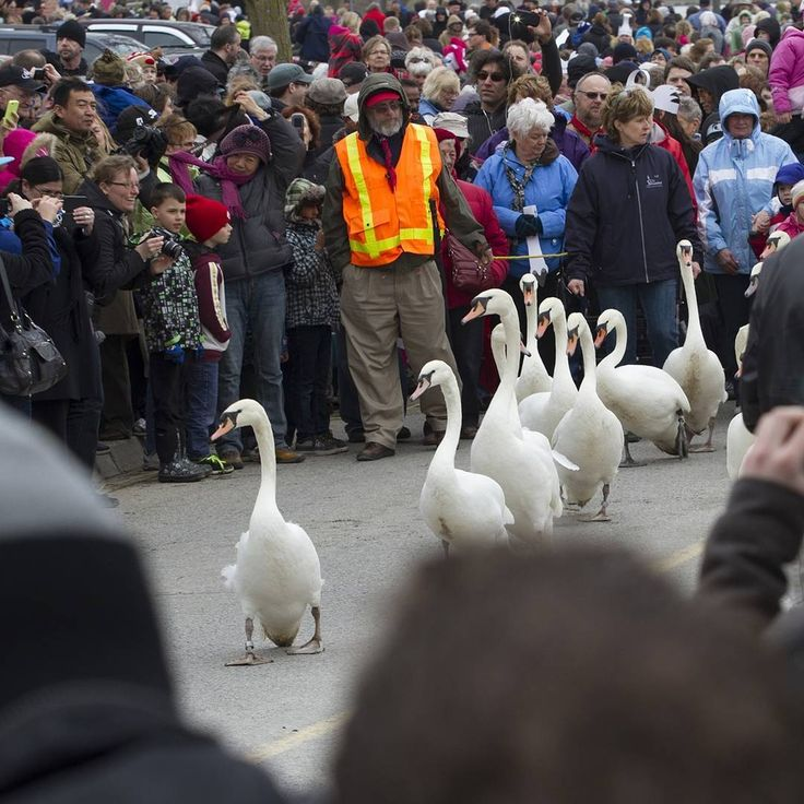 You know that the Swan Parade is coming up, right? Swan Weekend is 2-3 April--visit us! #Stratford365 #picoftheday #BestofOntario