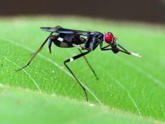 Grallomyia from Gamboa Panama - Micropezid by treegrow, via Flickr