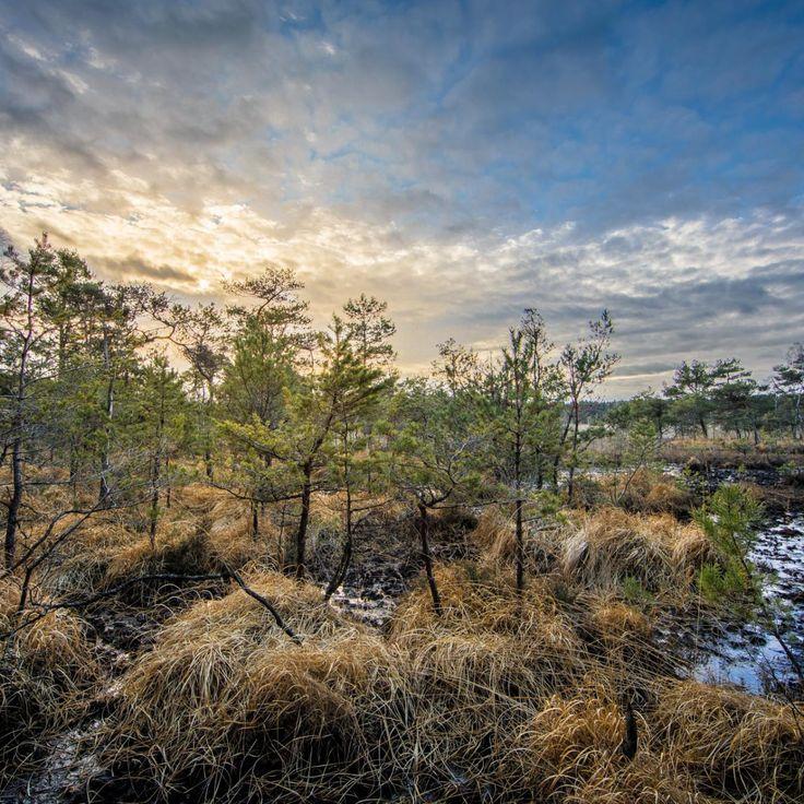 Bild 26 - Zadlitzbruch in der Dübener Heide bei Torgau | © Michael Eichhorn #zadlitzbruch #dübener_heide #naturschutzgebiet #sachsen #saxony #ausflugsziel #torf #moor #hochmoor #wandern #dübenerheide #duebenerheide #torgau #baddueben #baddüben #wald #sumpf #sumpfgebiet #natur #naturschutz #reservat #biosphäre #biosphere #farn #naturpark #falkenberg #trossin #dresden #nordsachsen #leipzig #sehenswürdigkeit #ziel #sonnentau #sumpfdotterblume #kranich
