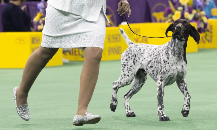 CJ the German shorthaired pointer named Westminster's Best in Show – as it happened | Sport | The Guardian
